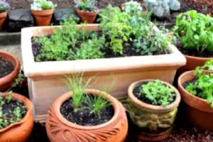 Garden : Herb Garden Plants in Central Florida